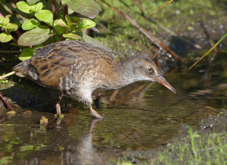 Jonge Waterral (Rallus quaticus) - De waterral komt voornamelijk voor in dichtbegroeide moerassen en heeft zich uitstekend aangepast aan het leven in