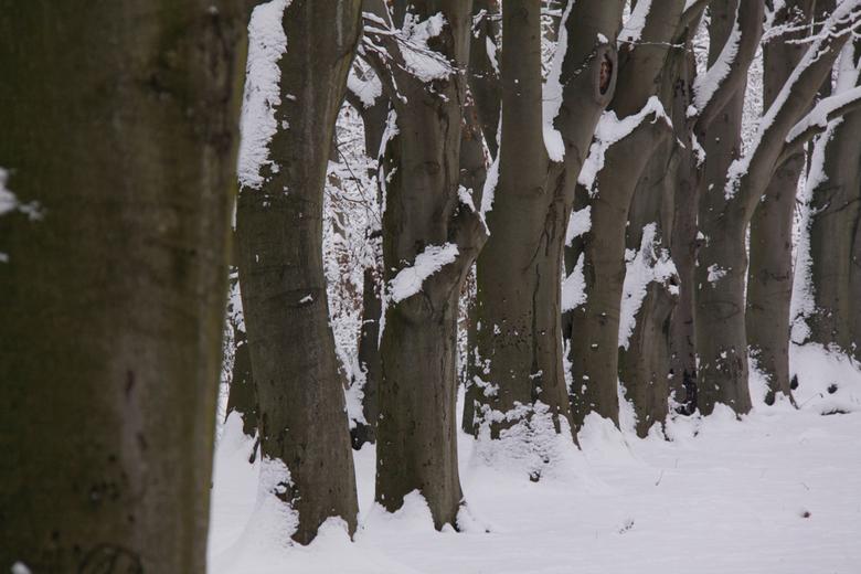 dikke bomen in de winter - Besneeuwde dikke bomen in de waterleidingduinen.