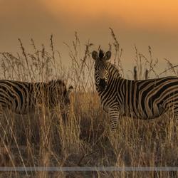 Zebra's voor zonsonderhang