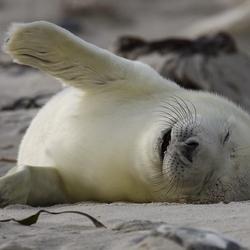 Grijze zeehond pup