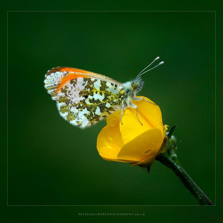 """Eenzaam - Na al het uitsluiper geweld weer eens een vlindertje <img  src=""""/images/smileys/smile.png""""/><br /> Er zijn al vele oranjetipjes de revu gep"""