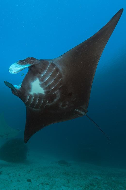Black Manta - Zwartgetinte Manta (4 meter) tijdens een duik op Raja Ampat in Indonesië