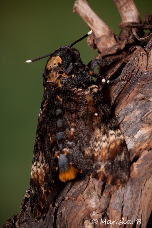 doodshoofdvlinder - Acherontia Atropos <br /> <br /> Wat een prachtige vlinders. En zo schattig, ze kunnen piepen. Ik geef ze honing te drinken uit