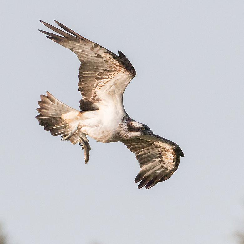 Visarend! - Gisteren een prachtige show gehad van deze Visarend, wat zijn het toch prachtige vogels.<br /> <br /> Iedereen een fijn weekend gewenst