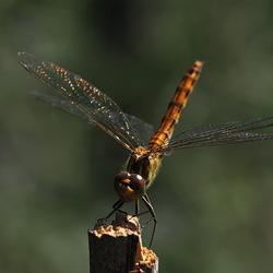 glinstertje ( heidelibel )