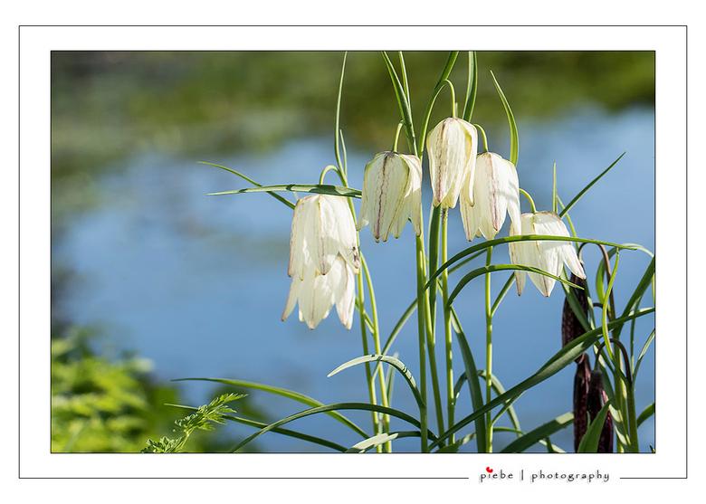 Wilde witte kievitsbloemen - Nu een bos wilde witte kievitsbloemen. <br /> De kievitsbloem is een plant uit de leliefamilie. Het is een in het wild i
