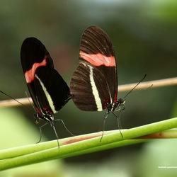 Geelband-passiebloemvlinder (parend)