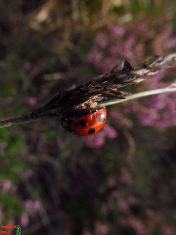 Lieveheersbeestje - Tijdens een vrije dag ben ik naar de Kalmthoutse heide geweest om te gaan fotograferen.