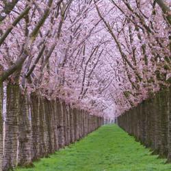 Kersenbloesem Regenboogbuurt Almere