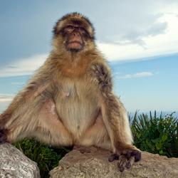 Koning aap