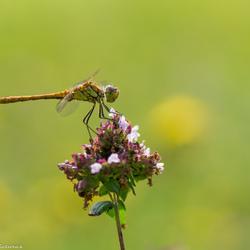 Steenrode heidelibel (zoomdag Appelzak 2014)