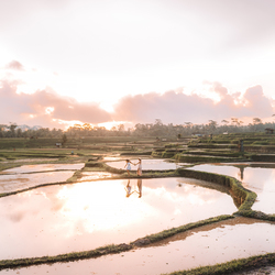Wandering through the rice paddies Indonesia