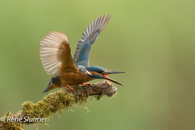 Afschrikken - Prachtig om te zien hoe dit IJsvogeltje een dreighouding aanneemt t.o.v. een andere IJsvogel.