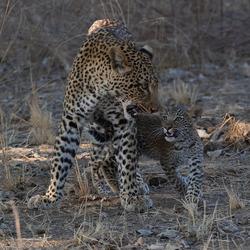 Luipaard ontmoeting met jong