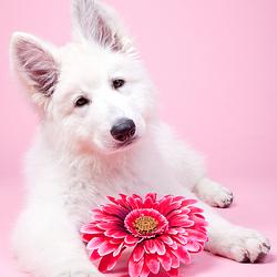Akino - witte Herder puppy