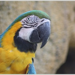 Dierenportret II: Blauw Gele Ara