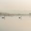 Zwanen in mist