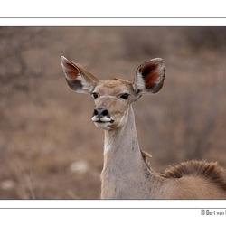 Koedoe - Zuid Afrika