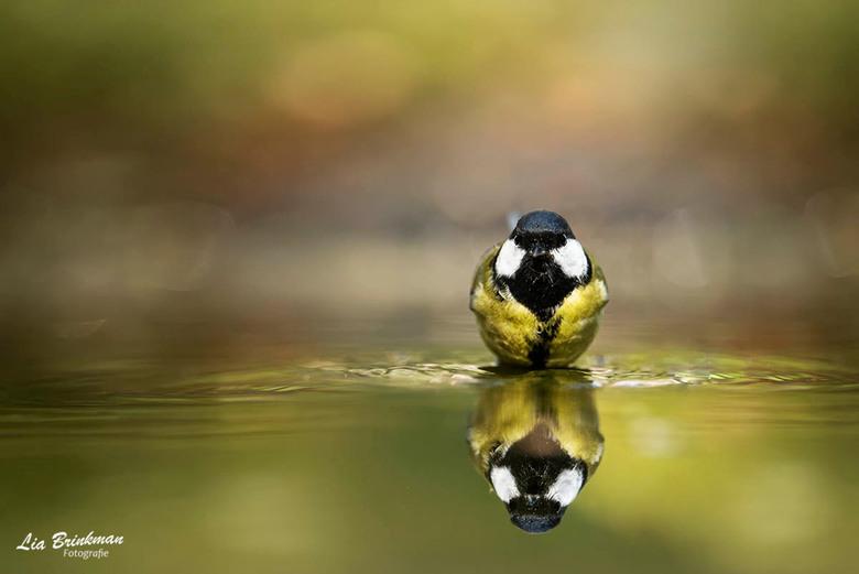 Spiegeltje, spiegeltje - Spiegeltje, Spiegeltje<br /> Een koolmeesje vlak voor dat ie begon te spetteren en te badderen.  Een mooie reflectie en herf