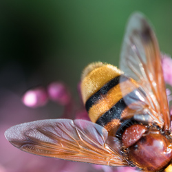Hoornaar zweefvlieg