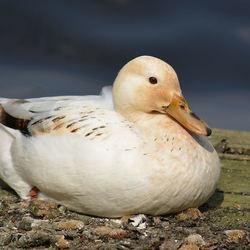 Beautiful Duck.