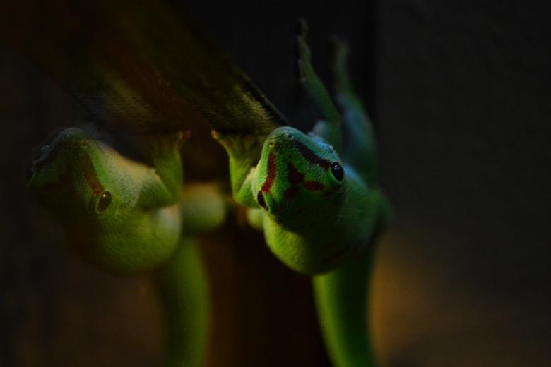 Dubbelganger - Zijn het er nu 1 en 2 gekko's?