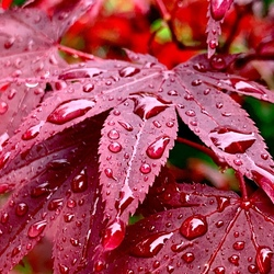 Regendruppels op japanse esdoornbladeren