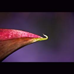 zantedeschia calla 2