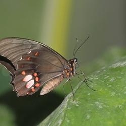 vlinder (2826)