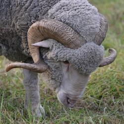 Wolmerino schaap