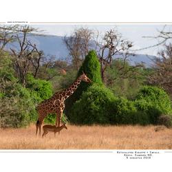 Giraffe & Impala, Kenia