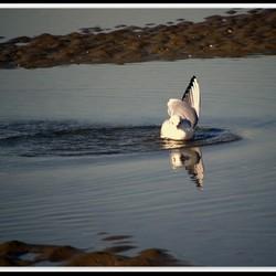 Zeemeeuw in Zwin in Zandvoort