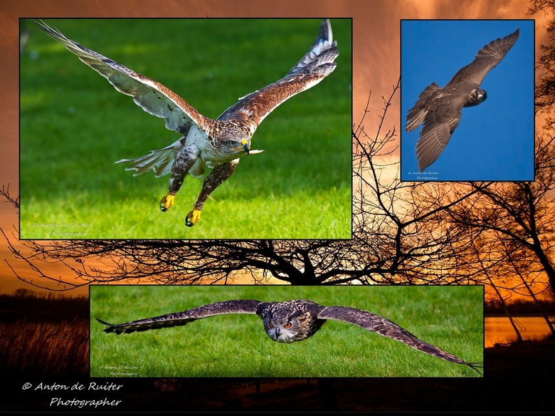 Compilatie roofvogels - Compilatie roofvogels