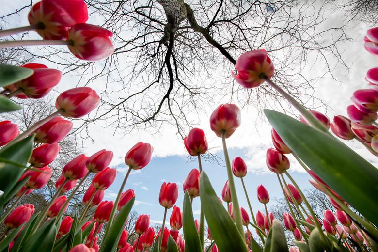 Look up - Tulpen maar dan net anders