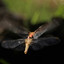 Libelle aan het vervellen