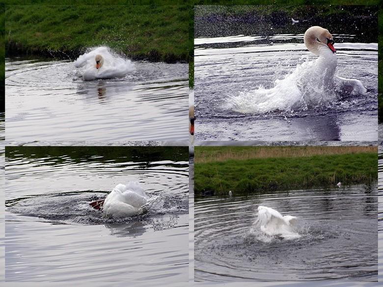 """Photo Collage Witte zwaan - Photo Collage gemaakt van een zwaan in een """"sloot"""" in Schiedam-Noord. De foto zie ik als bewerkte fotografie."""