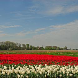 tulpen,