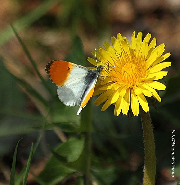 Eindelijk geluk - Oranje tipje<br /> <br /> Ging speciaal voor het oranjetipje.<br />  Maar heb wel verscheidende  vlinders soorten gezien.<br />