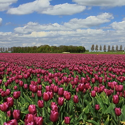 Hollandse polder