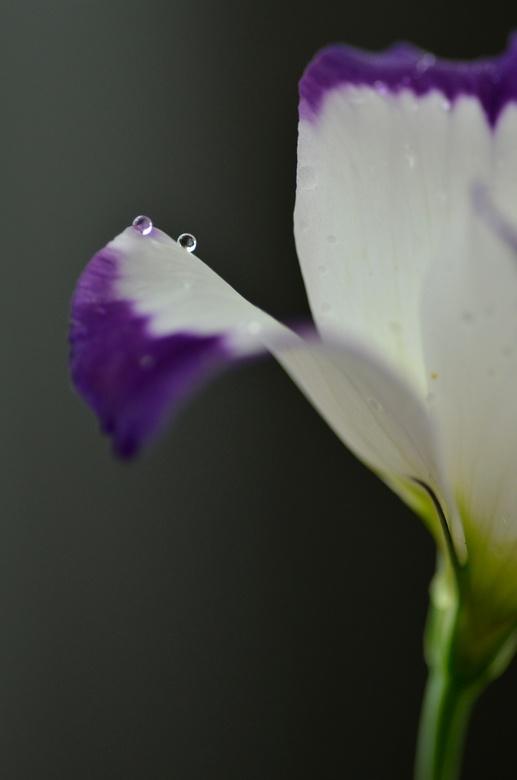 Lisianhus - Lisianthus