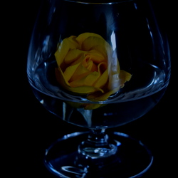 Gele roos.