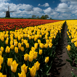 Out In the Tulip Fields