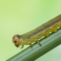 De zaagwesp larve