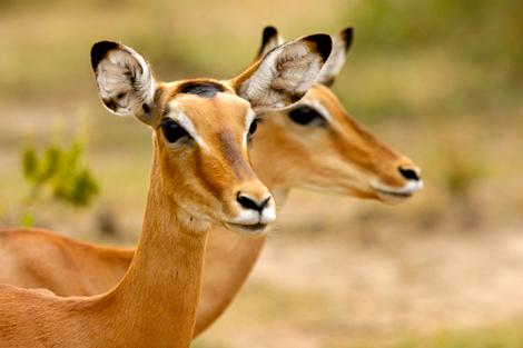 Impala vrouwtjes - Geschoten in Lake Mburu NP in Uganda africa.