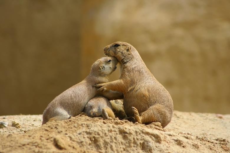Prairiehondjes in love