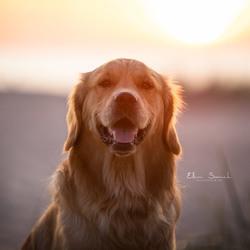 Golden Sun, Golden Retriever
