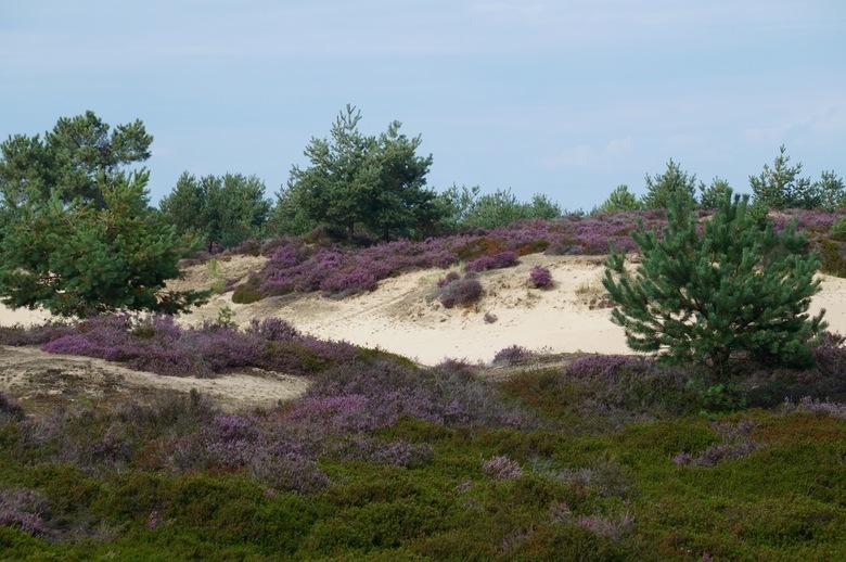 Aekingerzand - De heide bloeit weer. Het Aekingerzand in het Drent-Friese woold kleur gelukkig weer paars.<br /> <br /> Iedereen bedankt voor de rea