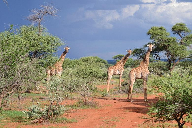 Giraffes in the garden -