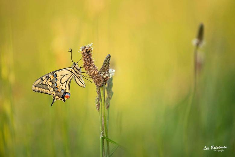 queen of the butterflies - queen of the butterflies,<br /> In het avondlicht kon ik deze koninginnepage fotograferen. Ik was blij toen ik deze pracht