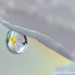reflectie van een tulp